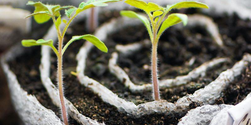 planta huerto